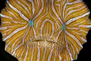 Psychedelic_frogfish_-_face_08Am3b