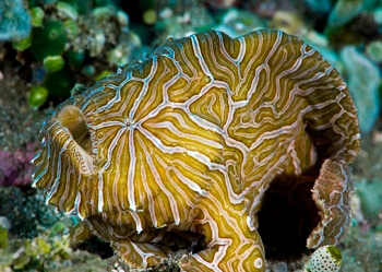 Psychedelic_frogfish_08Am7A1b