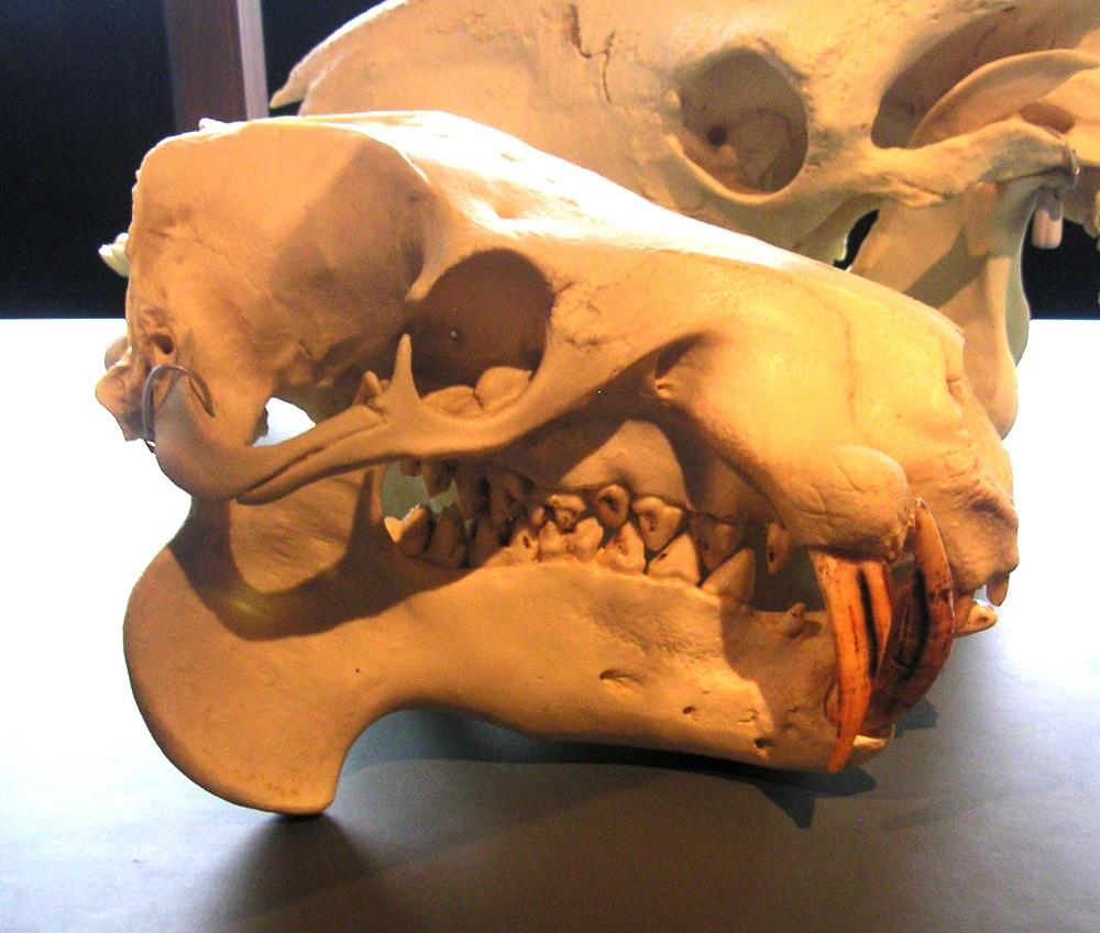 Choeropis skull Copenhagen 2