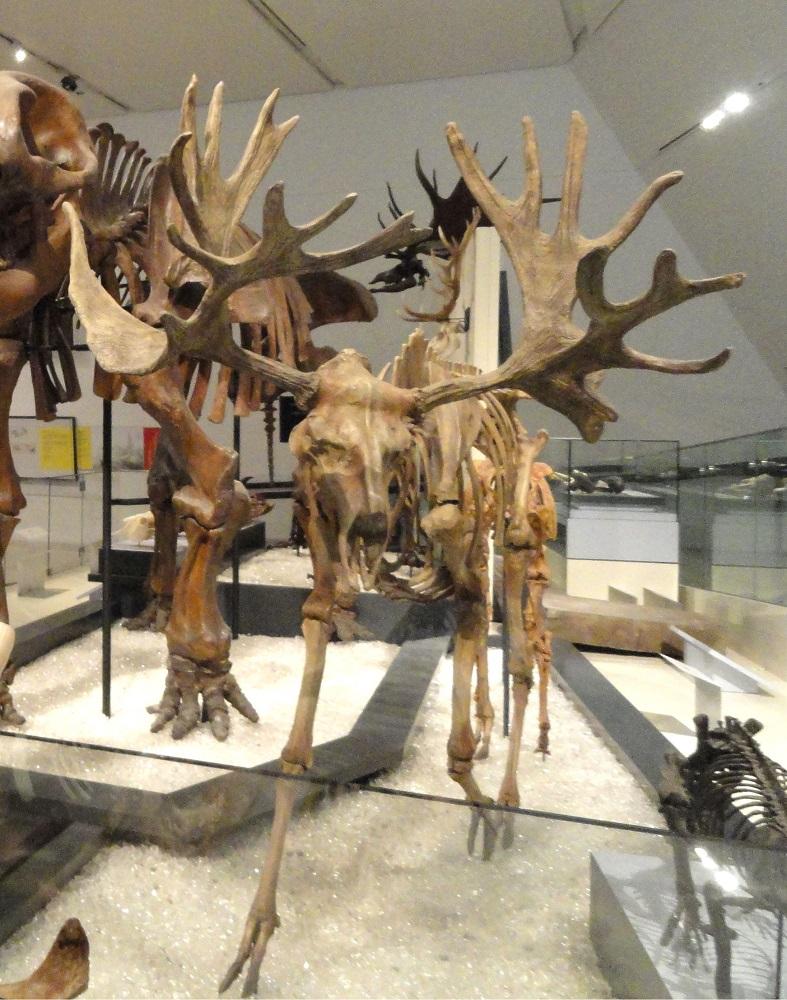 Cervalces Fossil_exhibit_-_Royal_Ontario_Museum_-_DSC00137