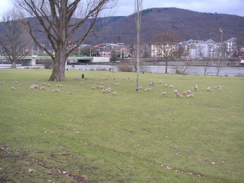 Schwanengänse in Heidelberg