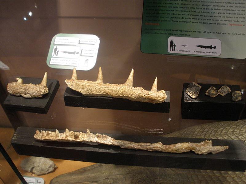 Atractosteus africanus Fossilien (Wikipedia)