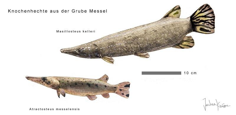 Masillosteus kelleri und A. straussi