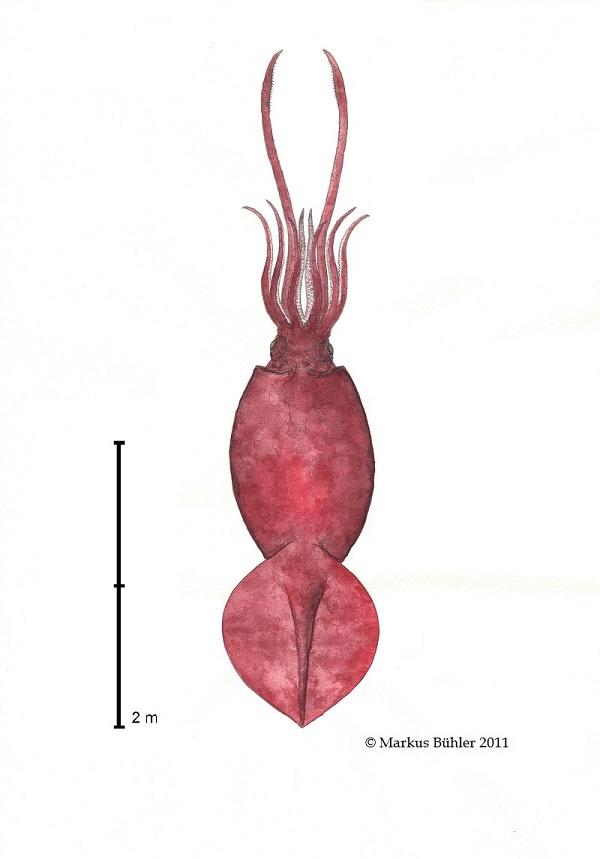 Mesonychoteuthis hamiltoni Scale 2m by Markus Bühler 2,5 m ML