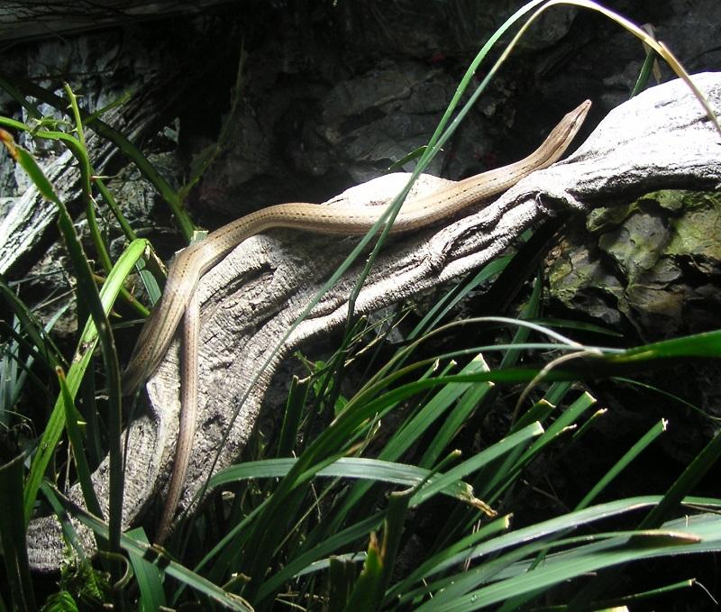 Neuguinea-Flossenfuß 2