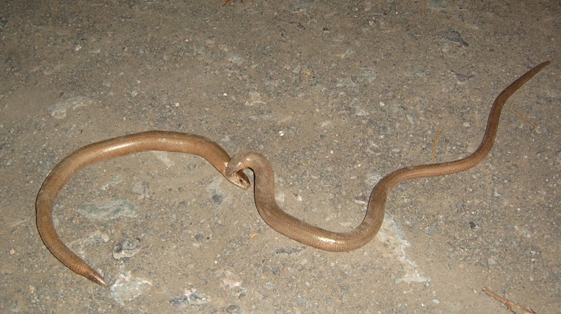 Male slow worm biting female. You can also see very well the difference of the non-autotomized tail of the male and the shrt re-grown tail of the female on the left.