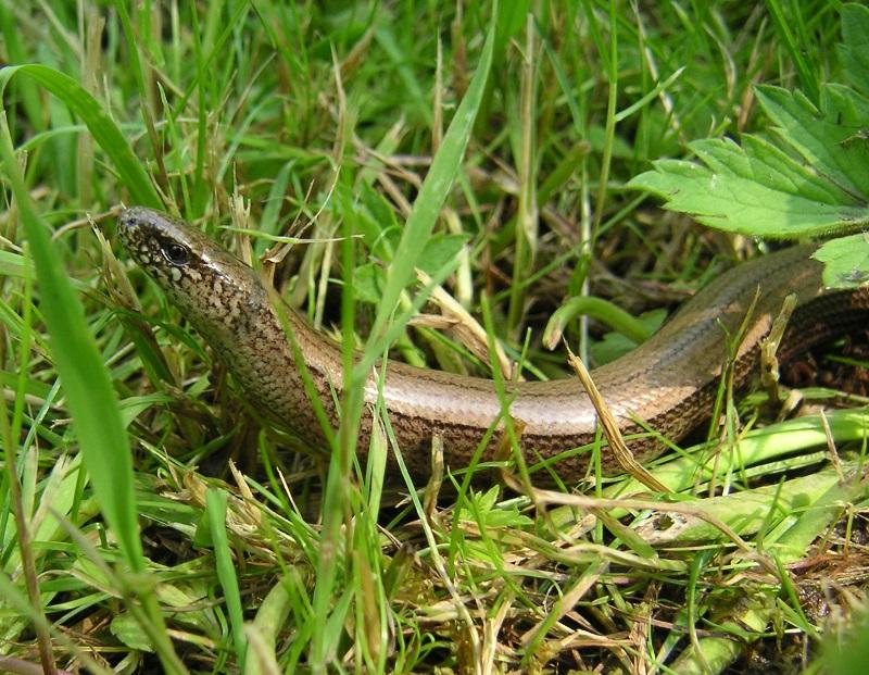 Slow worm Anguis fragilis