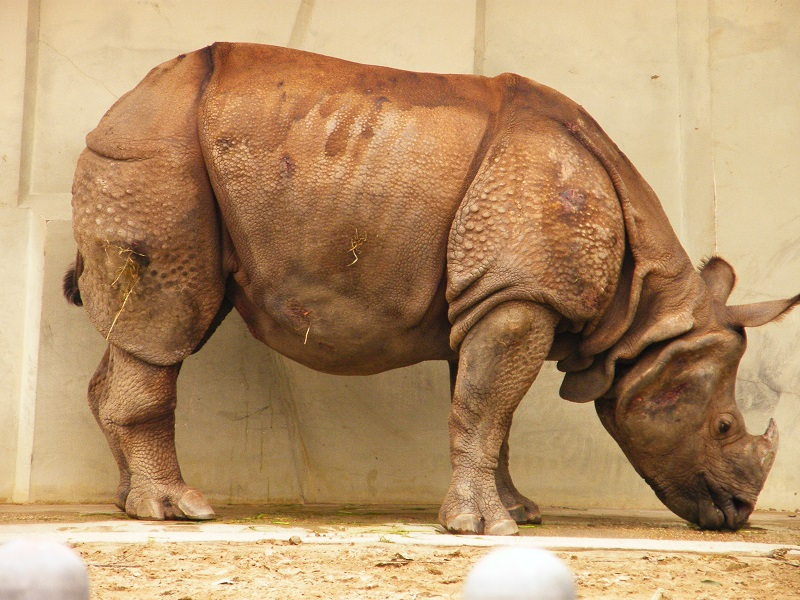 Indian Rhino form Wikimedia Commons