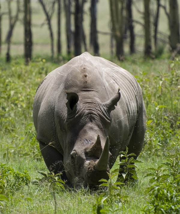 White rhino, photo from Wikimedia Commons.