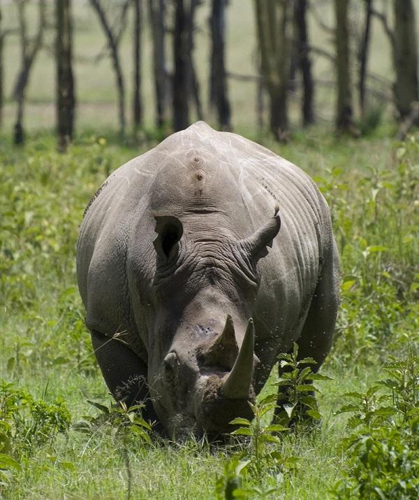 White rhino, photo from Wikimedia Commons.