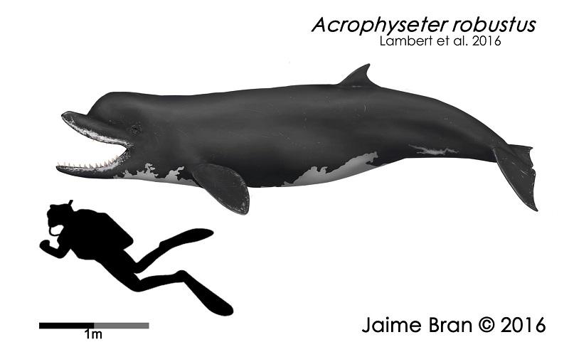 Acrophyseter deinodon by Jaime Bran