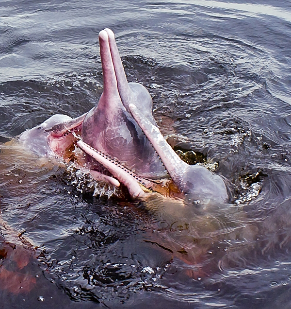 Amazon river dolphin (Inia geoffrensis), Source Wikimedia Commons