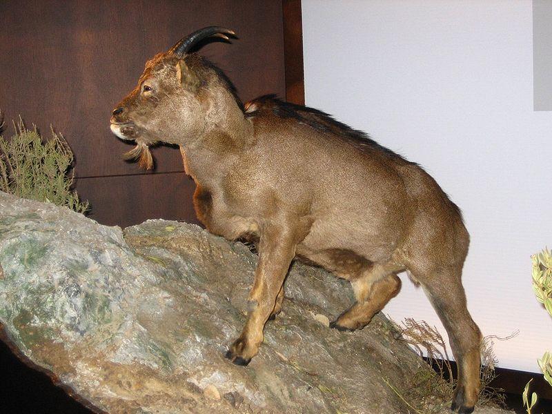 Myotragus balearicus restoration, Photo from Wikipedia