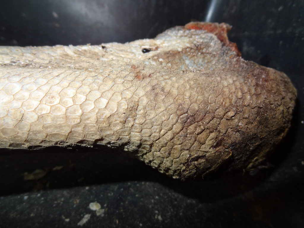 detailed look 75189 59d87 There was an area of extremely thick skin at the ankle area. The scales  were highly keratinized and formed some kind of knee pad to protect the  underlying ...